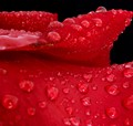 rose_9142