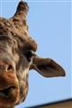 Giraffe Look