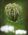 A flower like a ball