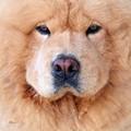 Chow-chow the Dog