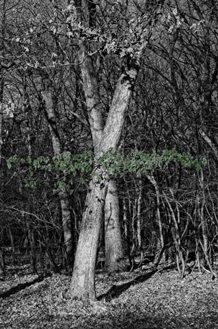 woods (BW)