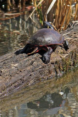 turtlecrop