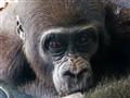 baby gorilla drinking milk