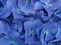 Blue Hortensia