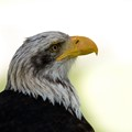 Eagle on the watch