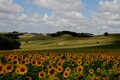 Sunflower slopes