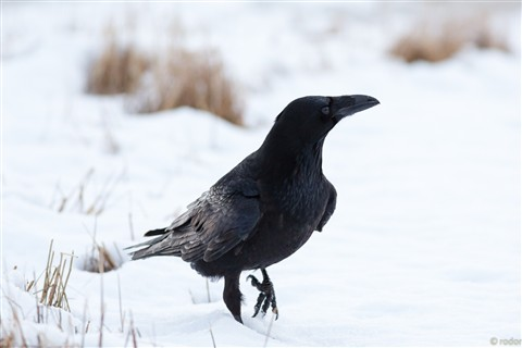 Raven in snow