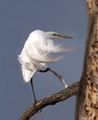 Great Egret on a Branch in the Wind