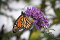 One of the few Monarchs I've seen in my garden this year.  Feeding on Butterfly Bush.