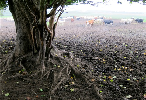 The cows tree