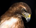 """Red Shoulder Hawk, photographed at the Key's (Florida) Wild Bird Rescue Habitat. This Hawk had a major wing injury (could not be rehabilitated) and has lived at the wild bird refuge for many years. He is fed a menu of live rats and baby chicks. The photo was taken from outside the cage which has a clear plexiglass panel. The way he looked at me was """"piercing""""."""