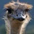 Ostrich portait
