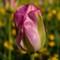 Spring tulip.