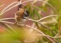Zonotrichia capensis
