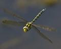 Hairy Hawker Dragonfly .