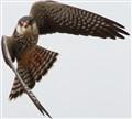 Amur Falcon (f)
