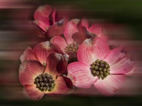 dogwood flower_20130421_0029 as Smart Object-2