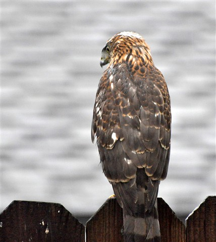 Hawk_5_1600