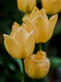 Yellow Tulips in the rain