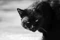 My Black Panther