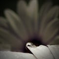 Daisy caught in a droplet