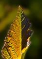 Diablo Nine-bark leaf