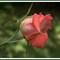 100_0056_fs1_rose