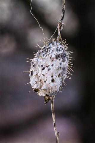 Echinocystis lobata -wild Cucumber-