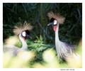 crested grey cranes