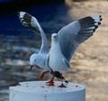 Silver gulls at Sydney Harbour