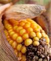 Corn Fail