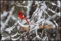 cardenal in the snow