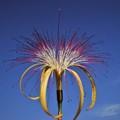 Monguba flower