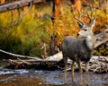Mule Deer Buck In A Stream