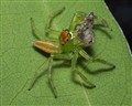 A Epeus flavobilineatus jumping spider eats another jumping spider