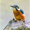 Eisvogel Juli 2013  (148 von 150)