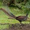 Superb Lyre bird (2)