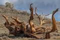 Bristlecone pine - root structure