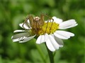 Tiny Lynx Spider on a Feverfew Daisy.