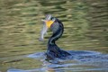 A Cormorant Taking a Fish Out to Dinner