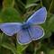 Fjällvickerblåvinge (Albulina orbitulus) - Alpine argus-2