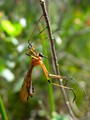 The Long Long  Legs of a Scorpionfly