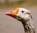 A Female Chinese White Goose