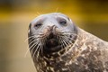 seal with handlebar moustache