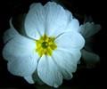 white primrosa