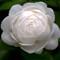 whiteoctoberrose