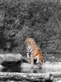 Save the Tiger....Else, you will see them in pics only