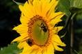 Sunny bees