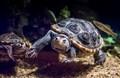 missisippi turtles