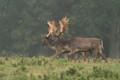 A pair of fallow Deer